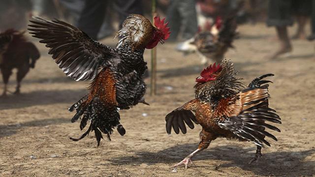 Cara Bertaruh Judi Sabung Ayam Online