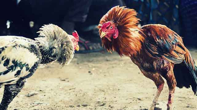 Judi Live Sabung Ayam Online Terbaik