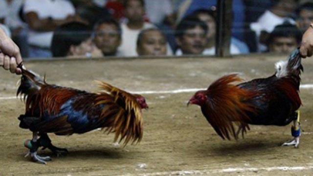 Cara Menang Laga Ayam Taji Online Uang Asli