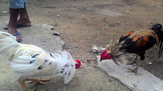 Download S128 Sabung Ayam Online