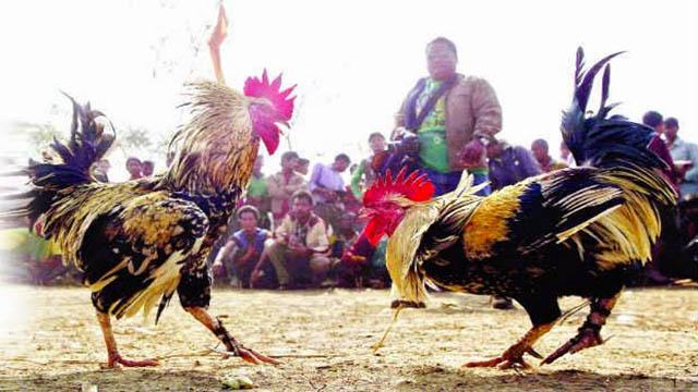 Judi Sabung Ayam Jago Pakai Taji