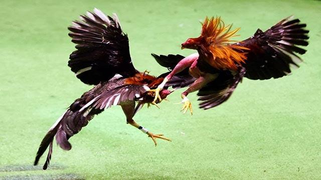 Trik Menang Taruhan Sabung Ayam Mobile